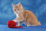 spielendes Maine Coon K�tzchen / playing maine coon kitten
