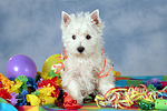 stehender West Highland White Terrier Welpe / standing West Highland White Terrier Puppy