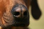 Rhodesian Ridgeback Nase / rhodesian ridgeback nose