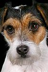 Parson Russell Terrier Gesicht / prt face
