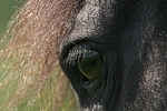 Friese Auge / friesian horse eye