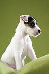 sitzender Parson Russell Terrier Welpe / sitting PRT puppy