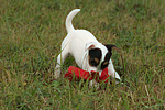 spielender Parson Russell Terrier Welpe / playing PRT puppy