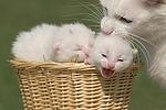 Katzenmutter mit Babys / cat with kitten