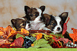 Papillon Welpen / papillon puppies