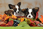Papillon Welpen / papillon puppies