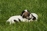 Parson Russell Terrier Welpen / parson russell terrier puppies