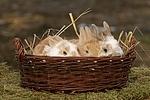 junge Zwergkaninchen / young dwarf rabbits