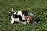 Jack Russell Terrier Welpen / jack russell terrier puppies