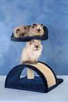 Perser Colourpoint K�tzchen auf Kratzbaum / persian colourpoint kitten on cat-tree
