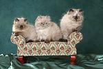 3 Perser Colourpoint K�tzchen / 3 persian colourpoint kitten