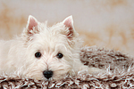 liegender West Highland White Terrier Welpe / lying West Highland White Terrier Puppy
