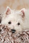 West Highland White Terrier Welpe / West Highland White Terrier Puppy