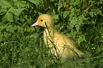 junge Warzenente / young muscovy duck