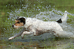 badender Parson Russell Terrier / bathing PRT