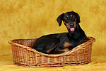 Dobermann im K�rbchen / Doberman Pinscher in basket