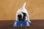 fressender Parson Russell Terrier Welpe / eating PRT puppy
