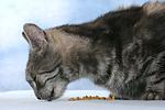 fressende Hauskatze / eating domestic cat