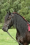 Friese Portrait / friesian horse portrait