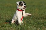 sitzender Parson Russell Terrier Welpe / sitting puppy
