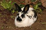 Englische Schecke / rabbit