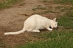 Hauskatze fri�t Maus / domestic cat eats mouse
