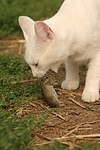 Hauskatze mit Maus / domestic cat with mouse