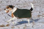 Parson Russell Terrier mit Mantel Schnee / prt in snow