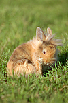 junges L�wenk�pfchen / young lion-headed rabbit