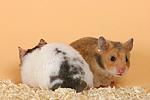 Hamster / hamsters
