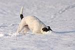 spielender Parson Russell Terrier im Schnee / playing prt in snow