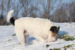 Parson Russell Terrier buddelt im Schnee / prt digging in snow