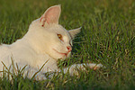 liegende Hauskatze / lying domestic cat
