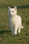 stehende wei�e Hauskatze / lying white domestic cat