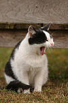 g�hnende Hauskatze / yawning domestic cat