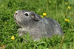 Glatthaarmeerschwein / guninea pig