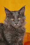 junge Maine Coon / young maine coon