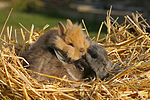 Zwergkaninchen und L�wenk�pfchen / dwarf rabbit and lion-headed bunny