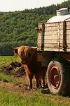 Schottisches Hochlandrind / highland cattle