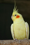 Nymphensittiche / cockatiels