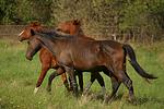 Hengste / stallions