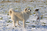 Parson Russell Terrier und Kuvasz / dogs in snow