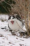 g�hnende Hauskatze / yawning domestic cat