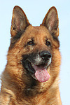 Deutscher Sch�ferhund Portrait / German Shepherd Portrait