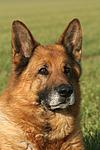 Deutscher Sch�ferhund Portrait / German Shepherd Portrait