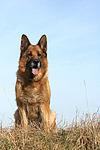 sitzender Deutscher Sch�ferhund / sitting German Shepherd