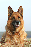 liegender Deutscher Sch�ferhund / lying German Shepherd