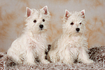 West Highland White Terrier Welpen / West Highland White Terrier Puppies