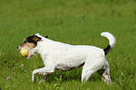 spielender Parson Russell Terrier / playing PRT