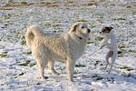 Parson Russell Terrier und Kuvasz / dogs in snow